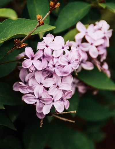 Beautiful purple blooming lilac. This picture is a part of Weekend Planner Things To Do post from The Pure Taste Blog. Weekend planner things to do and thoughts to share is a post where I share my weekly highlights. I hope you will find here some inspiration and new ideas how to spend your weekend, day-off or a date night. I also share some useful information to make our lives better, healthier and filled with fun and happiness. #weekend #weekendplanner #dayoff
