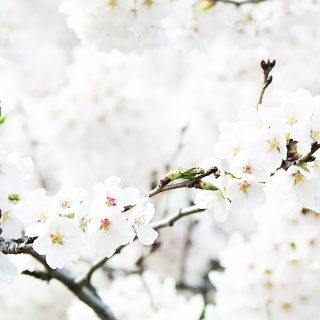 Beautiful white cherry blossom. This picture is a part of Weekend Planner Things To Do post from The Pure Taste Blog.